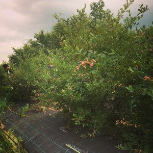 ブルーベリー畑